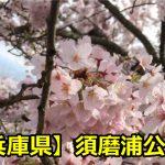 【兵庫県】須磨浦公園のお花見は場所取りが大事?駐車場や混雑時間について!