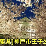 [兵庫県]神戸市立王子公園のお花見は夜桜通り抜けがおススメ?見頃はいつ?