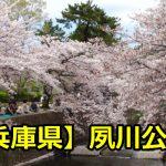 兵庫県夙川公園の花見の場所取りは?穴場の駐車場と混雑時間について!
