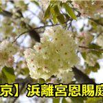 東京浜離宮恩賜庭園の桜の見頃は?ライトアップと宴会の混雑状況について!