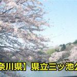 【神奈川県】県立三ツ池公園のお花見の穴場は?近場の駐車場とアクセスについて!