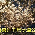 東京千鳥ヶ淵公園の花見のライトアップの時間は?桜の見ごろはいつ?
