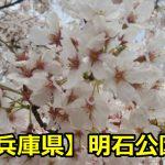 兵庫県明石公園の花見の混雑時間は?穴場の場所取りや駐車場まとめ!
