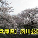 兵庫県夙川公園の花見は夜桜もすごい?ライトアップの時間と桜の見頃は?
