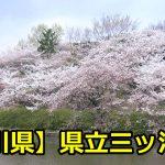 【神奈川県】県立三ツ池公園でお花見を楽しもう!桜の見ごろと開花予想・状況は?