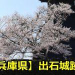 兵庫県出石城跡の桜の見頃はいつ?花見の穴場や駐車場についても!
