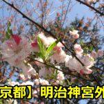 明治神宮外苑の桜の穴場の場所や見頃は?花見や宴会の混雑時間はいつ?
