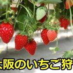 大阪のイチゴ狩りの穴場は?人気で予約なしで行けるおすすめのランキング