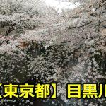 東京目黒川の花見の見頃はいつまで?場所取りや開花・満開情報についても!