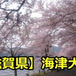 滋賀県海津大崎の花見の穴場や桜の見頃の時期は?開花予想や駐車場も!