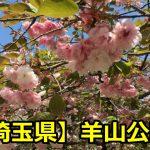 羊山公園の桜の時期や開花情報は?ライトアップや見頃についても!