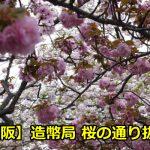 造幣局桜の通り抜けの夜桜のライトアップはいつから?見頃や穴場も!