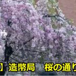 造幣局の桜の通り抜けの開花状況は?駐車場や混雑時間も!