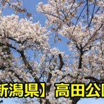 新潟県高田公園の花見の屋台の時間は?臨時駐車場や開花について!