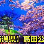 新潟県高田公園の花見のライトアップの時間は?場所取りや桜の見頃は?