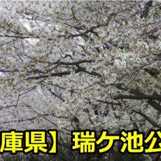 兵庫県瑞ケ池公園の桜の見頃は?穴場の駐車場とバーベキューについて!